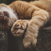 Immer müde Katze